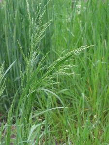 Gras Ruwbeemd (niet altijd voorradig)  per kg.