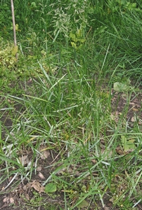 Gras Veldbeemd (niet altijd voorradig)  per kg.