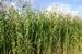 Gras Soedangras (Sorghum) per kg.